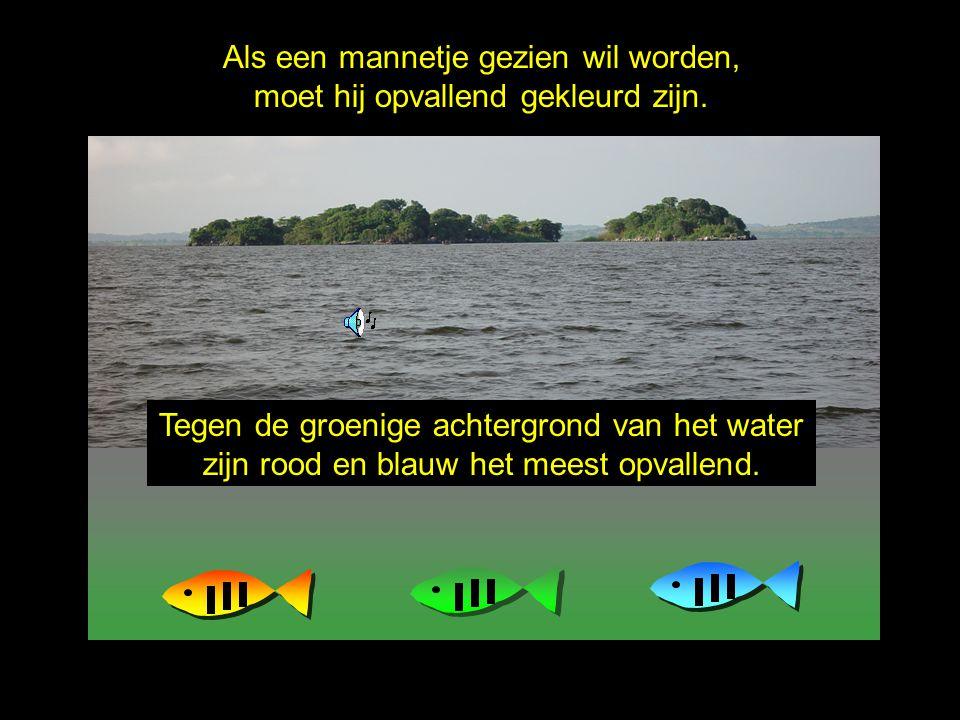 Het Victoriameer is erg troebel. Als een mannetje gezien wil worden, moet hij opvallend gekleurd zijn. Tegen de groenige achtergrond van het water zij