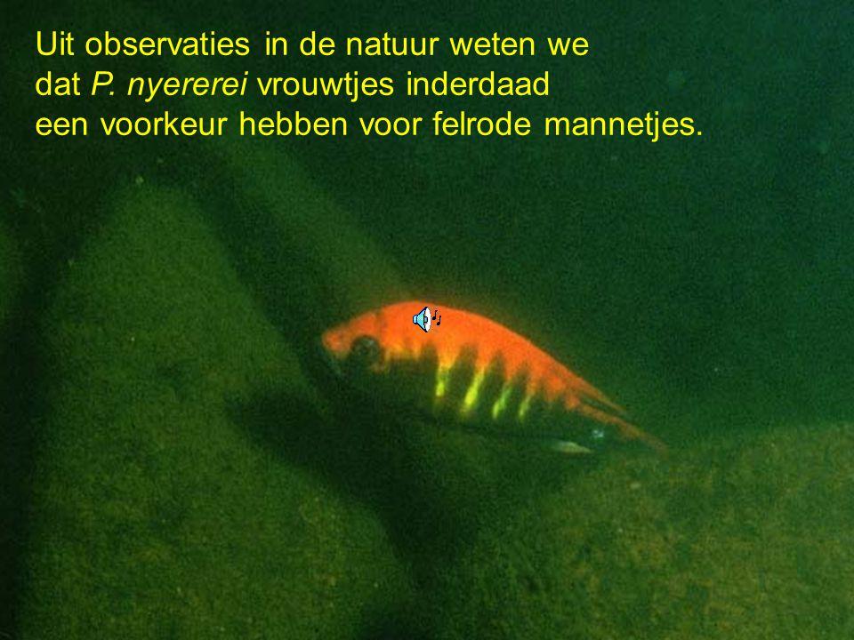 Uit observaties in de natuur weten we dat P. nyererei vrouwtjes inderdaad een voorkeur hebben voor felrode mannetjes.