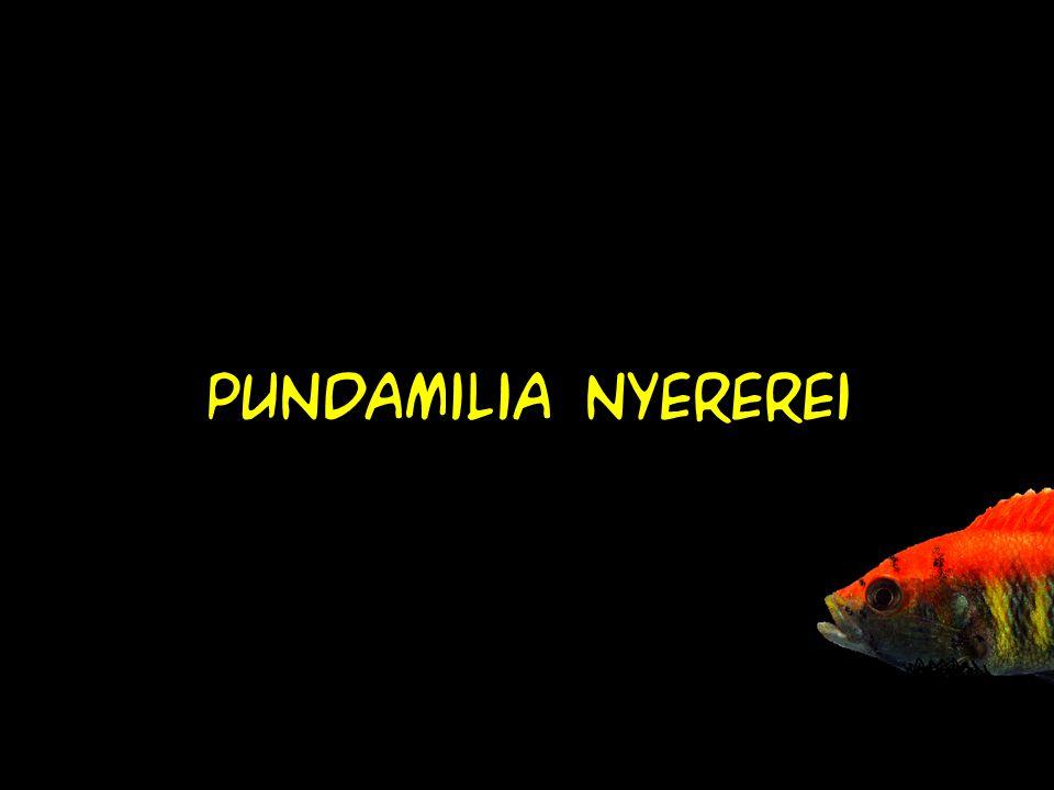Pundamilia nyererei