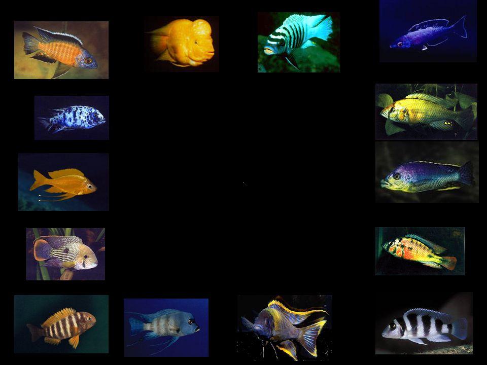 Cichliden zijn tropische zoetwatervissen en vormen een extreem soortenrijke familie.