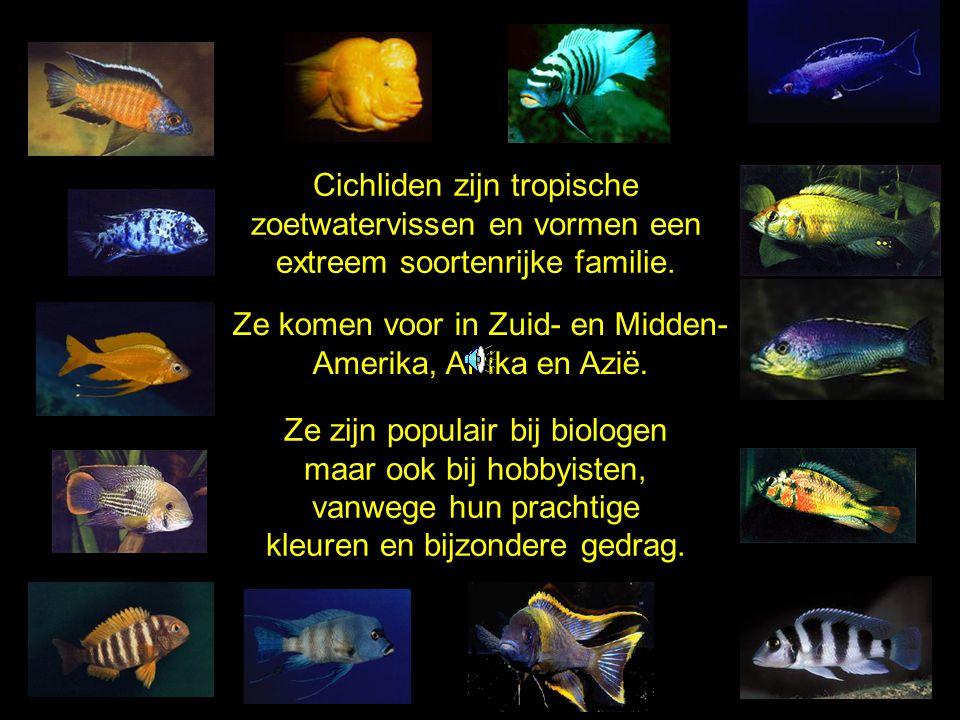 Cichliden zijn tropische zoetwatervissen en vormen een extreem soortenrijke familie. Ze zijn populair bij biologen maar ook bij hobbyisten, vanwege hu