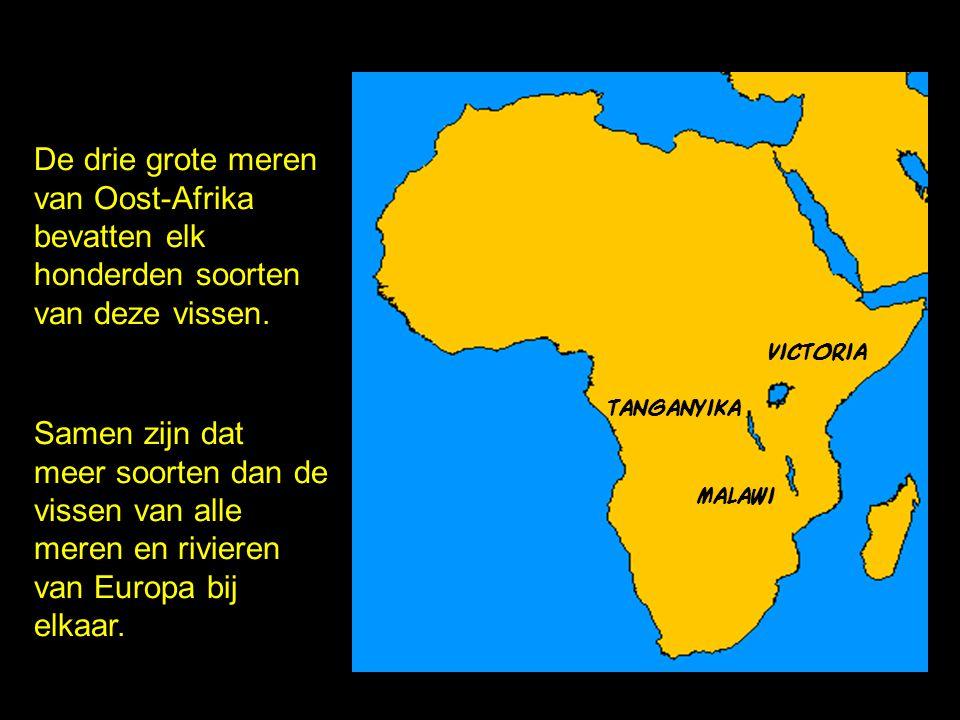 minder dan 15.000 jaar oud meer dan 500 soorten cichliden! victoriameer