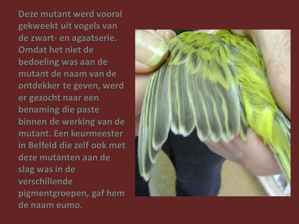 Deze mutant werd vooral gekweekt uit vogels van de zwart- en agaatserie. Omdat het niet de bedoeling was aan de mutant de naam van de ontdekker te gev