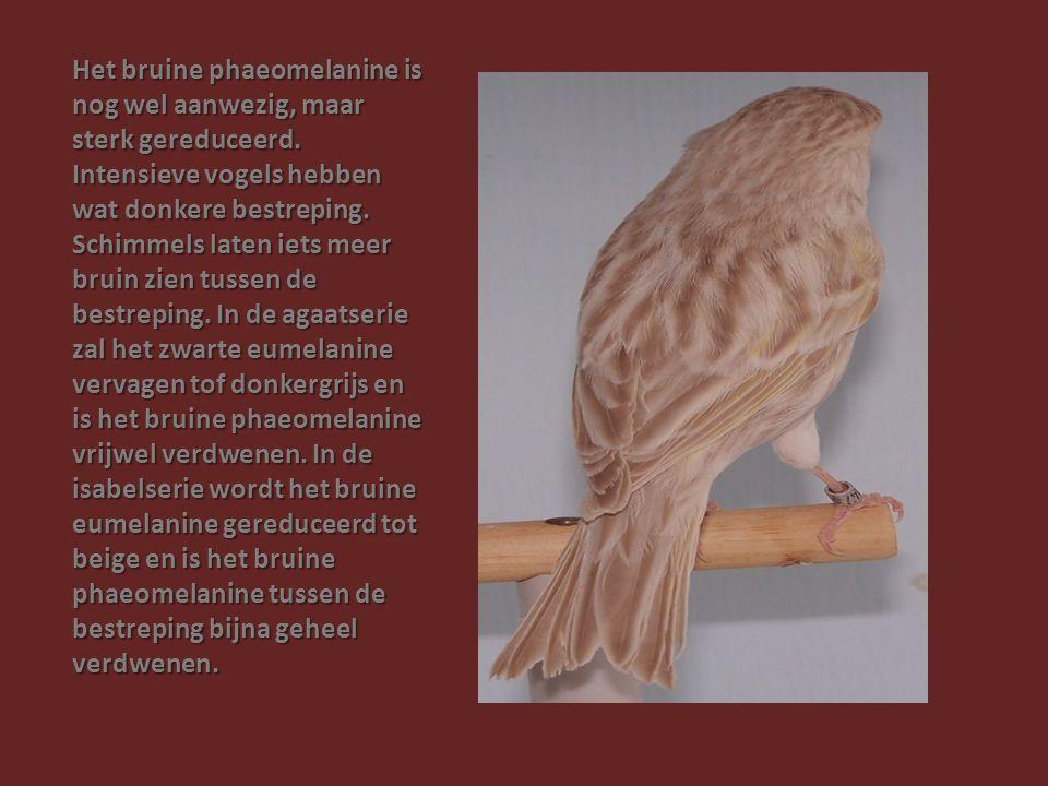 Het bruine phaeomelanine is nog wel aanwezig, maar sterk gereduceerd. Intensieve vogels hebben wat donkere bestreping. Schimmels laten iets meer bruin