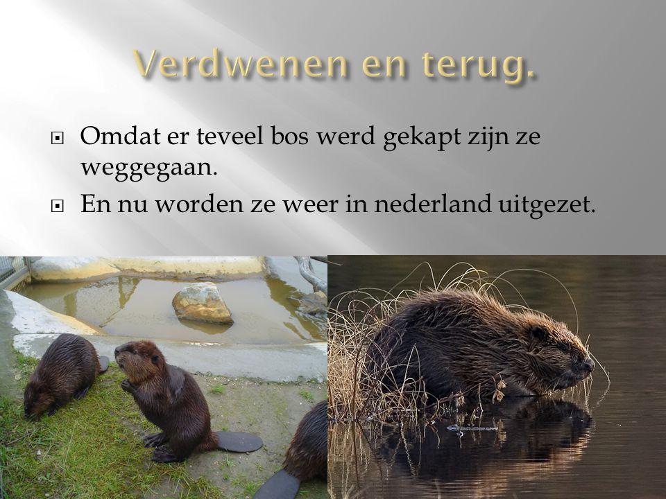  Omdat er teveel bos werd gekapt zijn ze weggegaan.  En nu worden ze weer in nederland uitgezet.