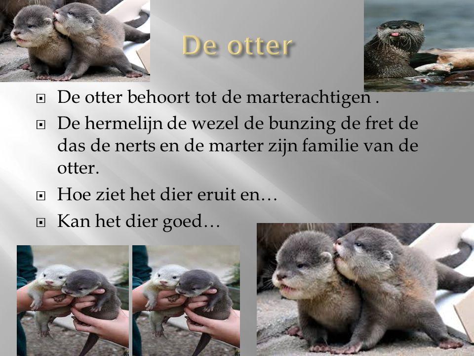  De otter behoort tot de marterachtigen.  De hermelijn de wezel de bunzing de fret de das de nerts en de marter zijn familie van de otter.  Hoe zie