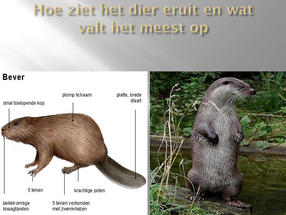 o De otter kan haar scherp onder water kijken.