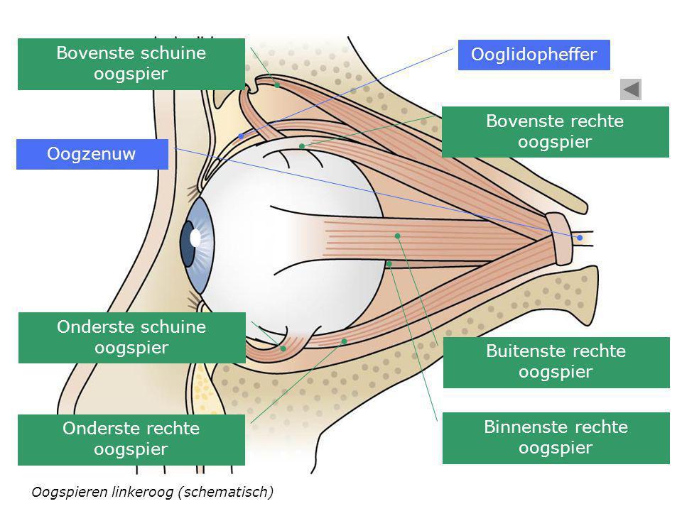 Oogspieren linkeroog (schematisch) Bovenste schuine oogspier Ooglidopheffer Bovenste rechte oogspier Buitenste rechte oogspier Binnenste rechte oogspi