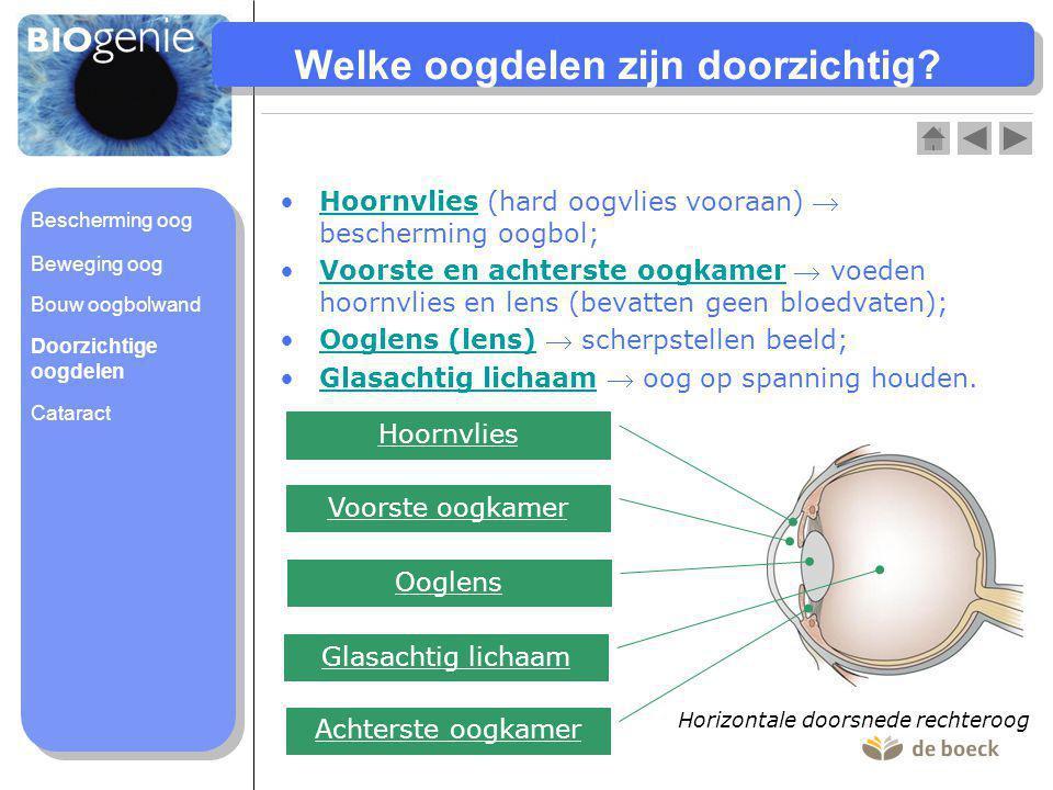 Welke oogdelen zijn doorzichtig? Hoornvlies (hard oogvlies vooraan)  bescherming oogbol;Hoornvlies Voorste en achterste oogkamer  voeden hoornvlies