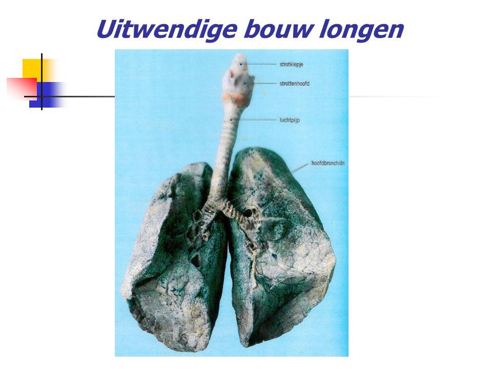 luchtpijp luchtpijptakje luchtpijptakje eindigend op een longzakje met 10 tot 12 longblaasjes splitsing luchtpijp in 2 bronchie in uit