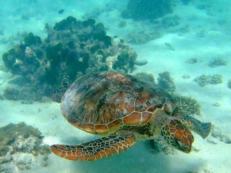 In het Groot Barrièrerif vindt men zes van de zeven wereldwijd voorkomende soorten zeeschildpadden. Daaronder ook de met uitsterven bedreigde karetsch