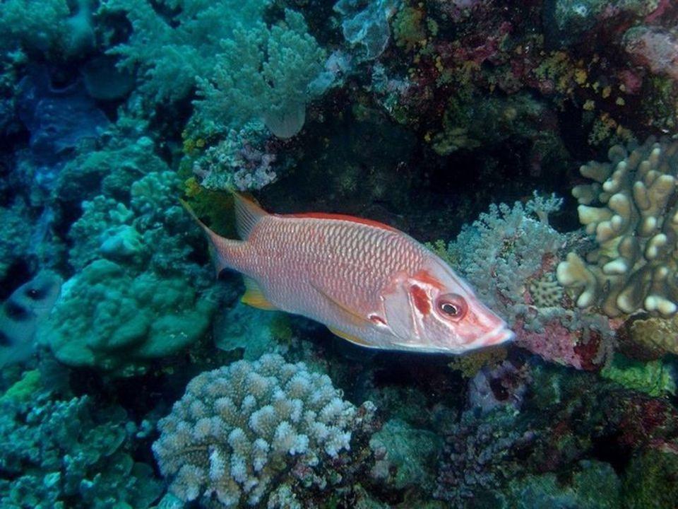De getande en vertakte koralen zijn een ideale biotoop voor slakken en zeldzame mosselen zoals bijvoorbeeld de arthritica of de venuskam.
