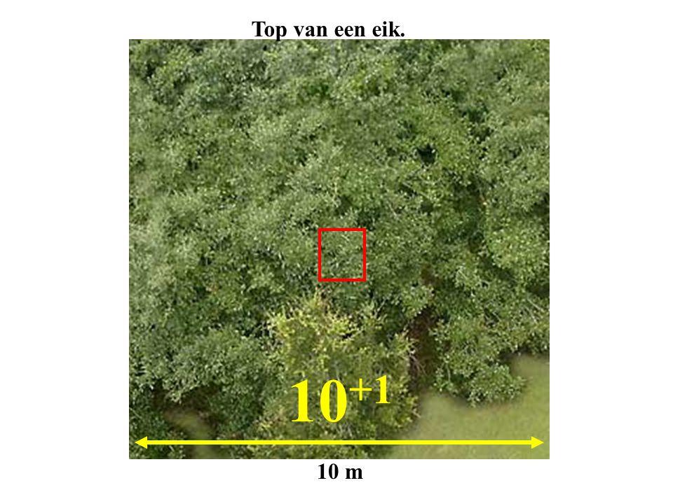 10 +1 10 m Top van een eik.