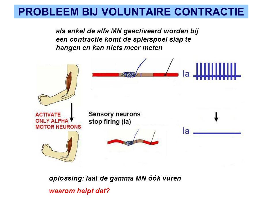 PROBLEEM BIJ VOLUNTAIRE CONTRACTIE als enkel de alfa MN geactiveerd worden bij een contractie komt de spierspoel slap te hangen en kan niets meer meten oplossing: laat de gamma MN óók vuren waarom helpt dat?