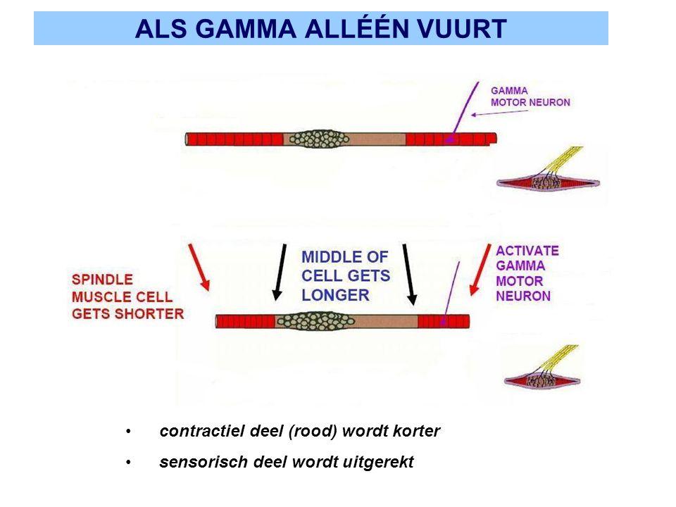 ALS GAMMA ALLÉÉN VUURT contractiel deel (rood) wordt korter sensorisch deel wordt uitgerekt