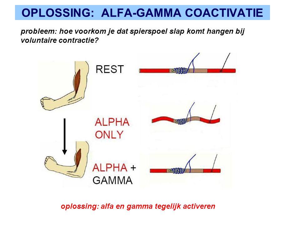 OPLOSSING: ALFA-GAMMA COACTIVATIE probleem: hoe voorkom je dat spierspoel slap komt hangen bij voluntaire contractie.
