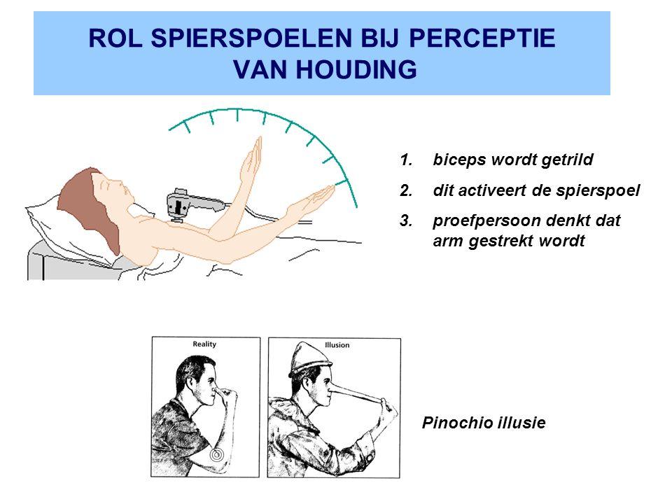 ROL SPIERSPOELEN BIJ PERCEPTIE VAN HOUDING 1.biceps wordt getrild 2.dit activeert de spierspoel 3.proefpersoon denkt dat arm gestrekt wordt Pinochio illusie