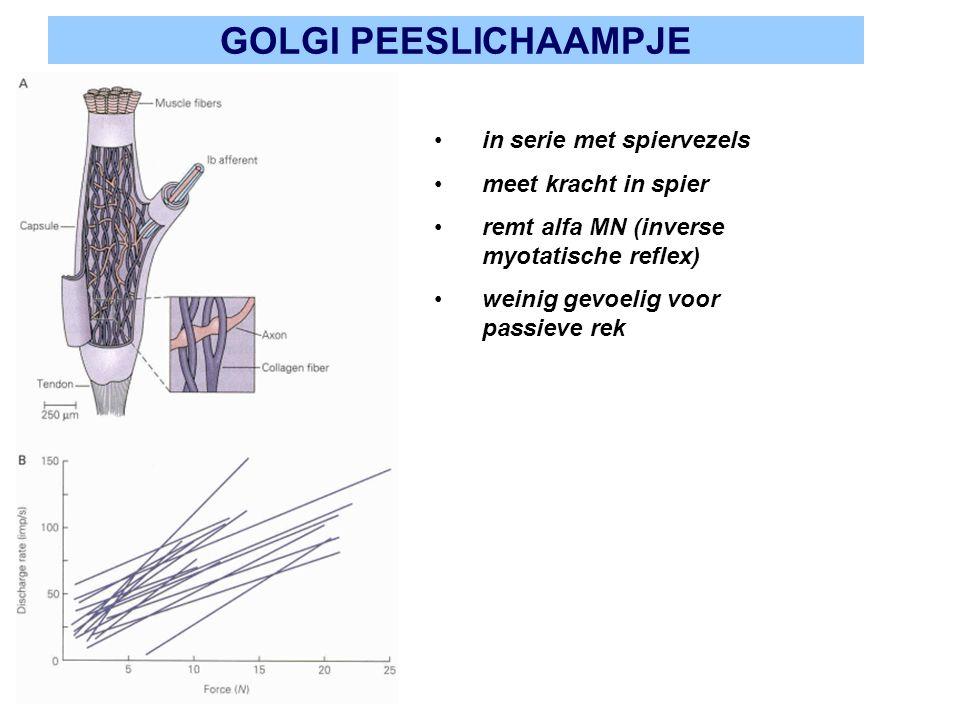 GOLGI PEESLICHAAMPJE in serie met spiervezels meet kracht in spier remt alfa MN (inverse myotatische reflex) weinig gevoelig voor passieve rek