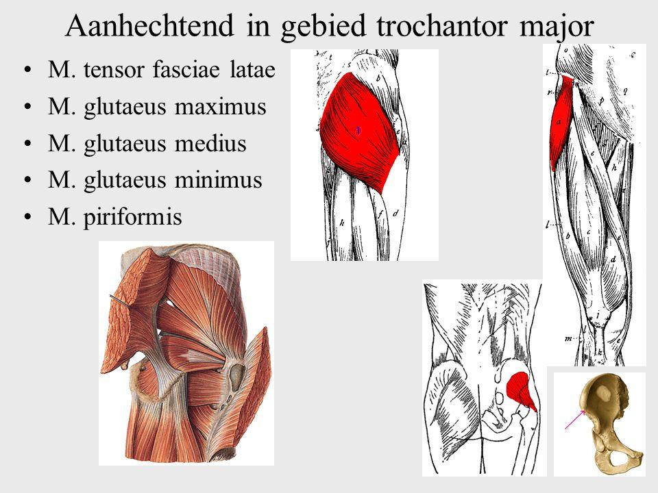 Aanhechtend in gebied trochantor major M. tensor fasciae latae M. glutaeus maximus M. glutaeus medius M. glutaeus minimus M. piriformis