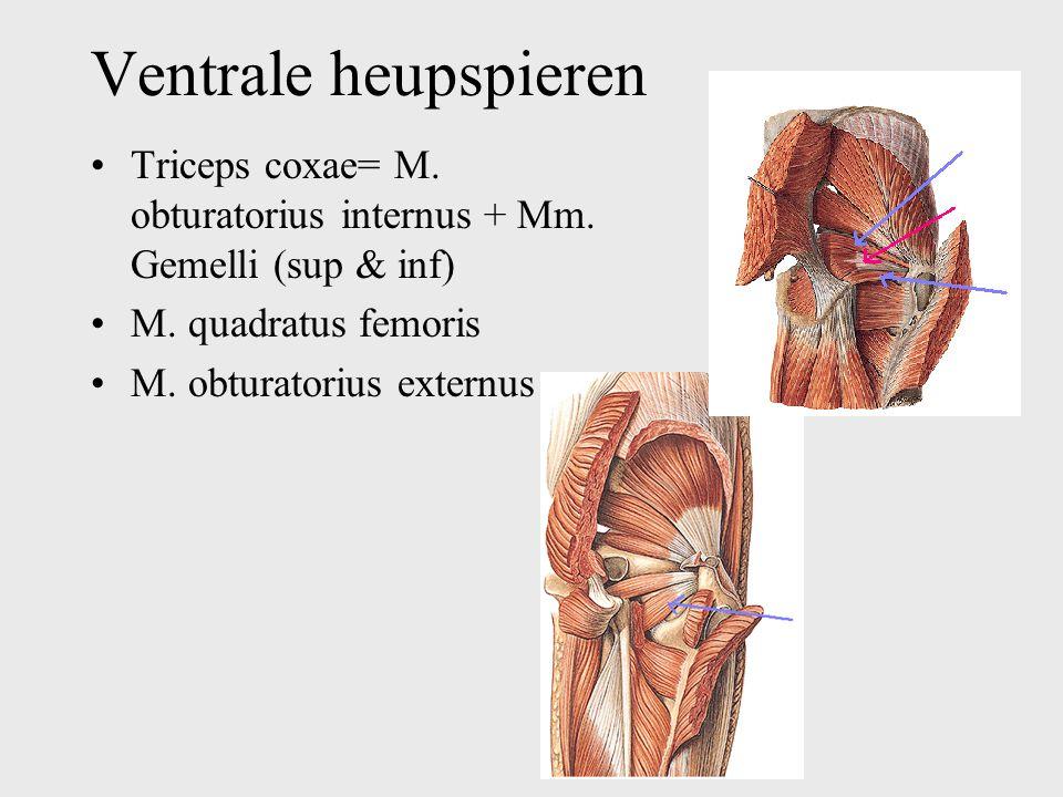 Ventrale heupspieren Triceps coxae= M. obturatorius internus + Mm. Gemelli (sup & inf) M. quadratus femoris M. obturatorius externus