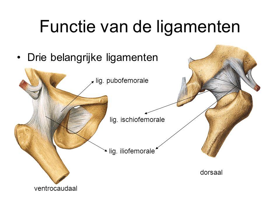 Functie van de ligamenten Drie belangrijke ligamenten dorsaal ventrocaudaal lig. iliofemorale lig. pubofemorale lig. ischiofemorale
