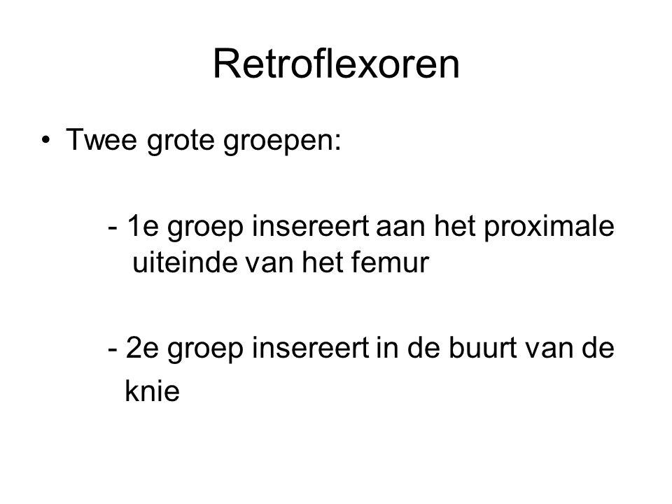 Retroflexoren Twee grote groepen: - 1e groep insereert aan het proximale uiteinde van het femur - 2e groep insereert in de buurt van de knie