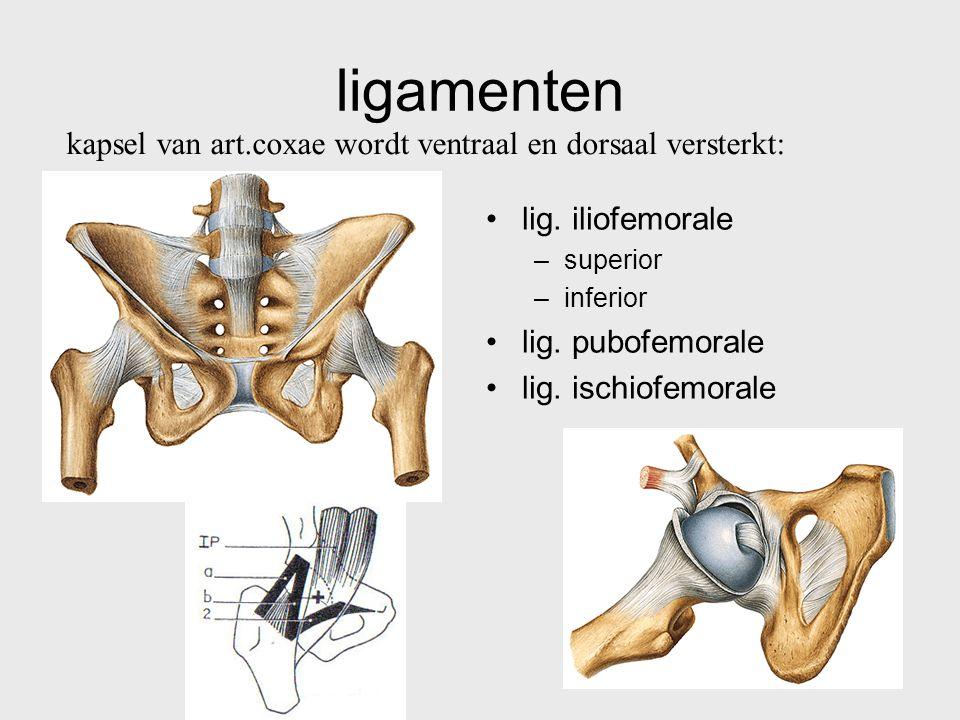 ligamenten kapsel van art.coxae wordt ventraal en dorsaal versterkt: lig. iliofemorale –superior –inferior lig. pubofemorale lig. ischiofemorale