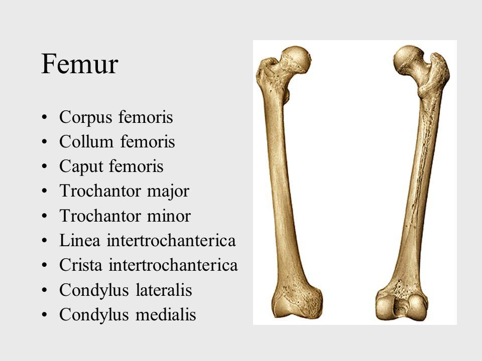 Femur Corpus femoris Collum femoris Caput femoris Trochantor major Trochantor minor Linea intertrochanterica Crista intertrochanterica Condylus latera