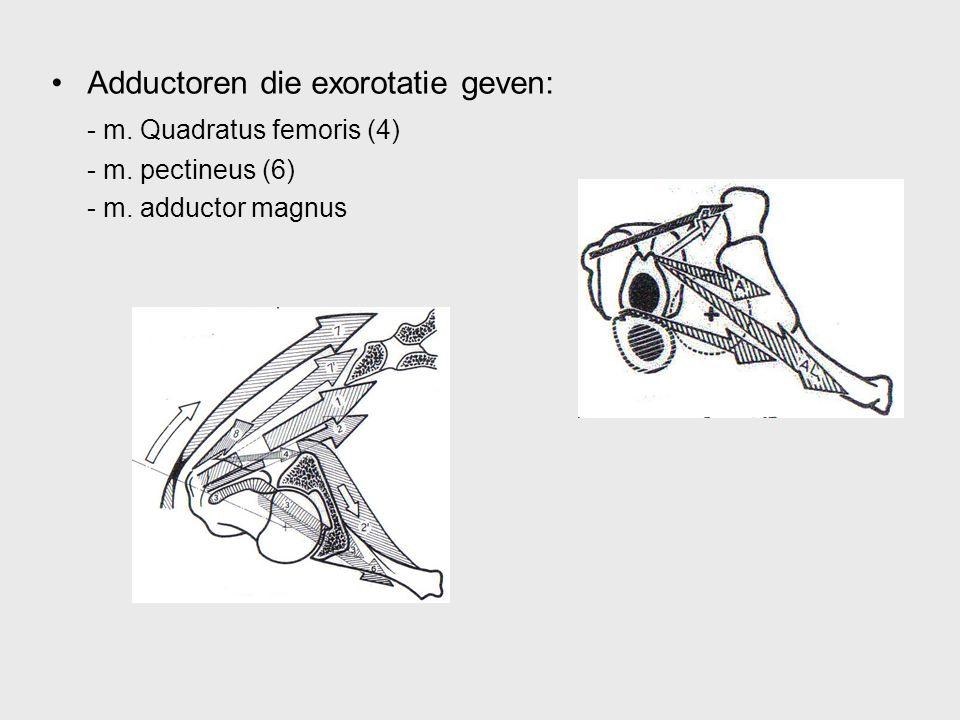 Adductoren die exorotatie geven: - m. Quadratus femoris (4) - m. pectineus (6) - m. adductor magnus