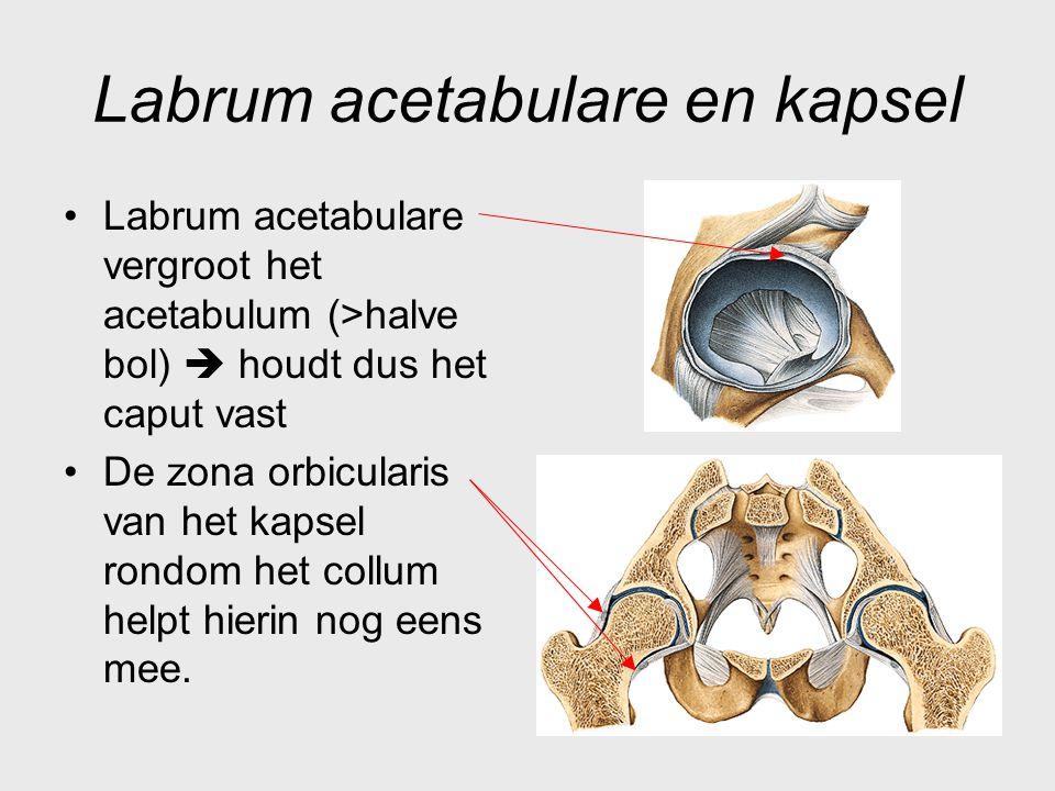 Labrum acetabulare en kapsel Labrum acetabulare vergroot het acetabulum (>halve bol)  houdt dus het caput vast De zona orbicularis van het kapsel ron