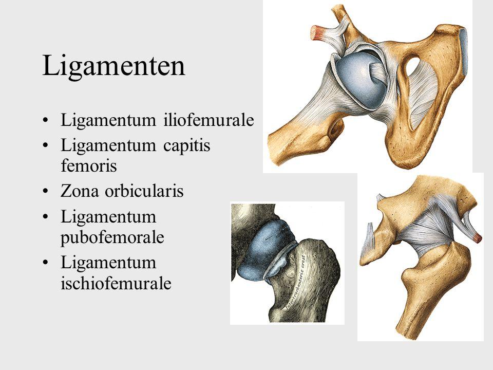 Ligamenten Ligamentum iliofemurale Ligamentum capitis femoris Zona orbicularis Ligamentum pubofemorale Ligamentum ischiofemurale