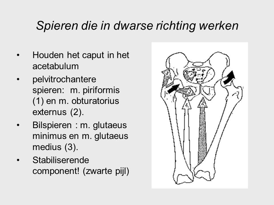 Spieren die in dwarse richting werken Houden het caput in het acetabulum pelvitrochantere spieren: m. piriformis (1) en m. obturatorius externus (2).