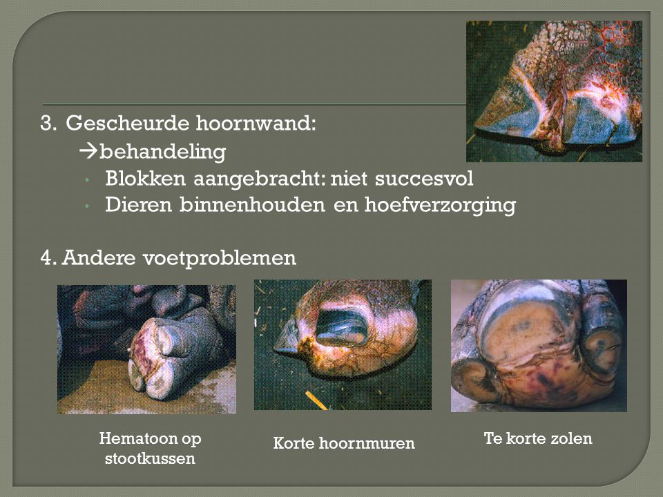 3. Gescheurde hoornwand:  behandeling Blokken aangebracht: niet succesvol Dieren binnenhouden en hoefverzorging 4. Andere voetproblemen Hematoon op s