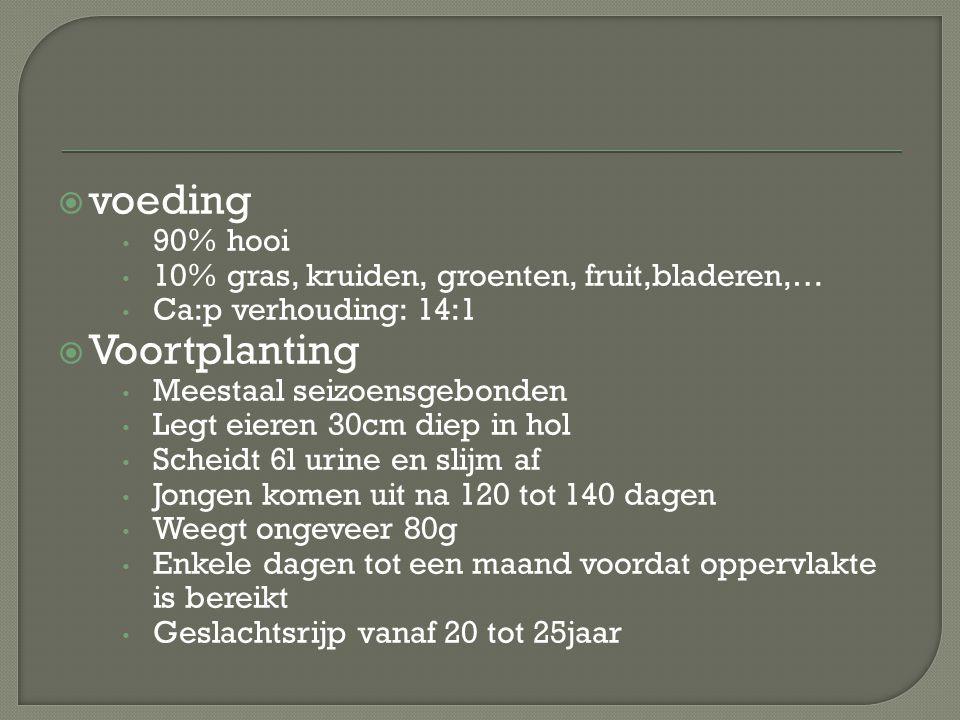  voeding 90% hooi 10% gras, kruiden, groenten, fruit,bladeren,… Ca:p verhouding: 14:1  Voortplanting Meestaal seizoensgebonden Legt eieren 30cm diep