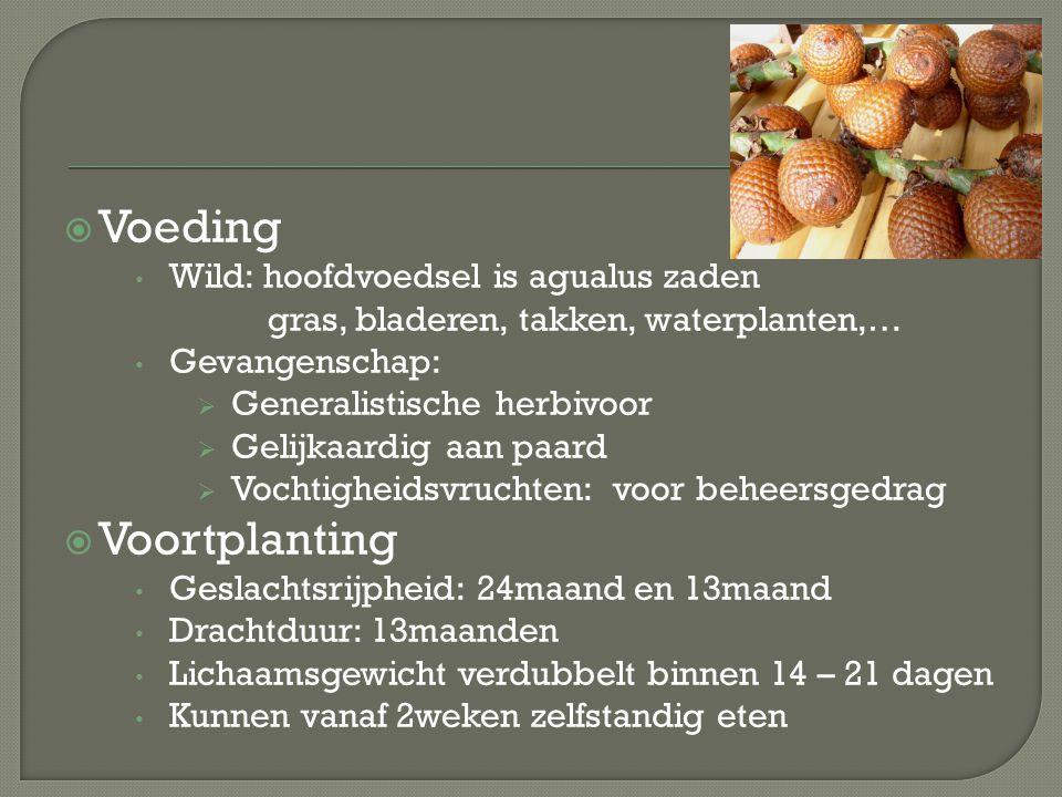  Voeding Wild: hoofdvoedsel is agualus zaden gras, bladeren, takken, waterplanten,… Gevangenschap:  Generalistische herbivoor  Gelijkaardig aan paa