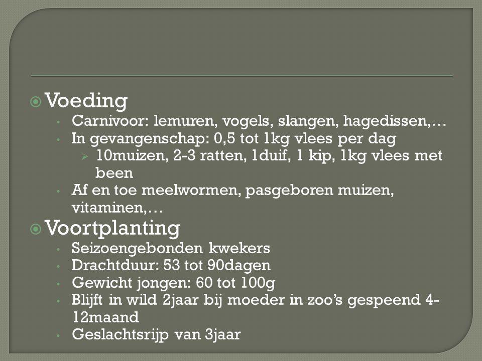  Voeding Carnivoor: lemuren, vogels, slangen, hagedissen,… In gevangenschap: 0,5 tot 1kg vlees per dag  10muizen, 2-3 ratten, 1duif, 1 kip, 1kg vlee