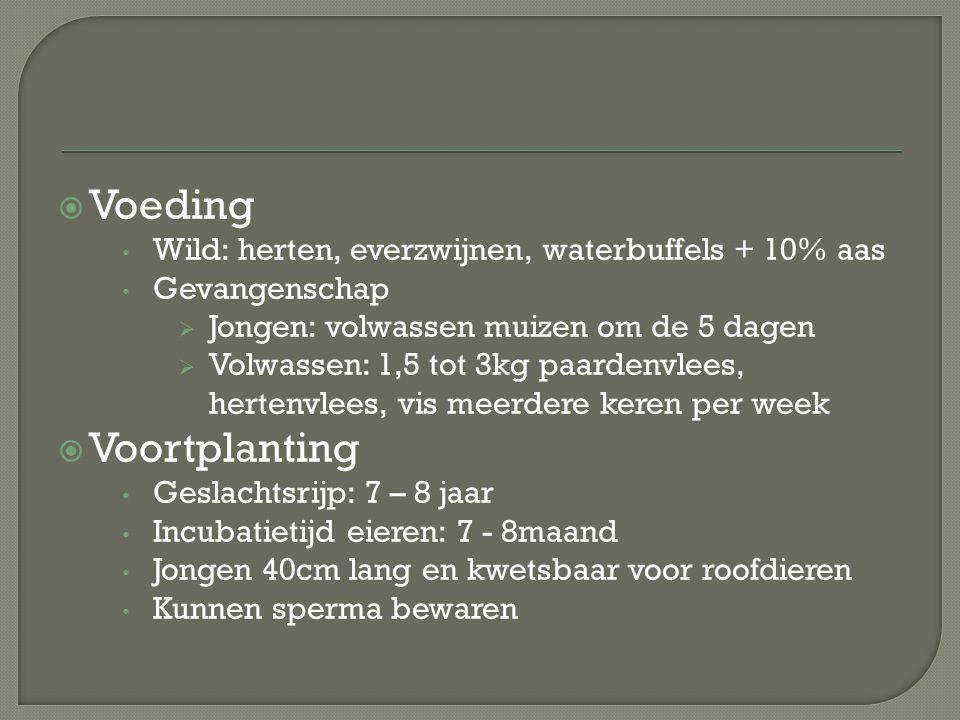  Voeding Wild: herten, everzwijnen, waterbuffels + 10% aas Gevangenschap  Jongen: volwassen muizen om de 5 dagen  Volwassen: 1,5 tot 3kg paardenvle