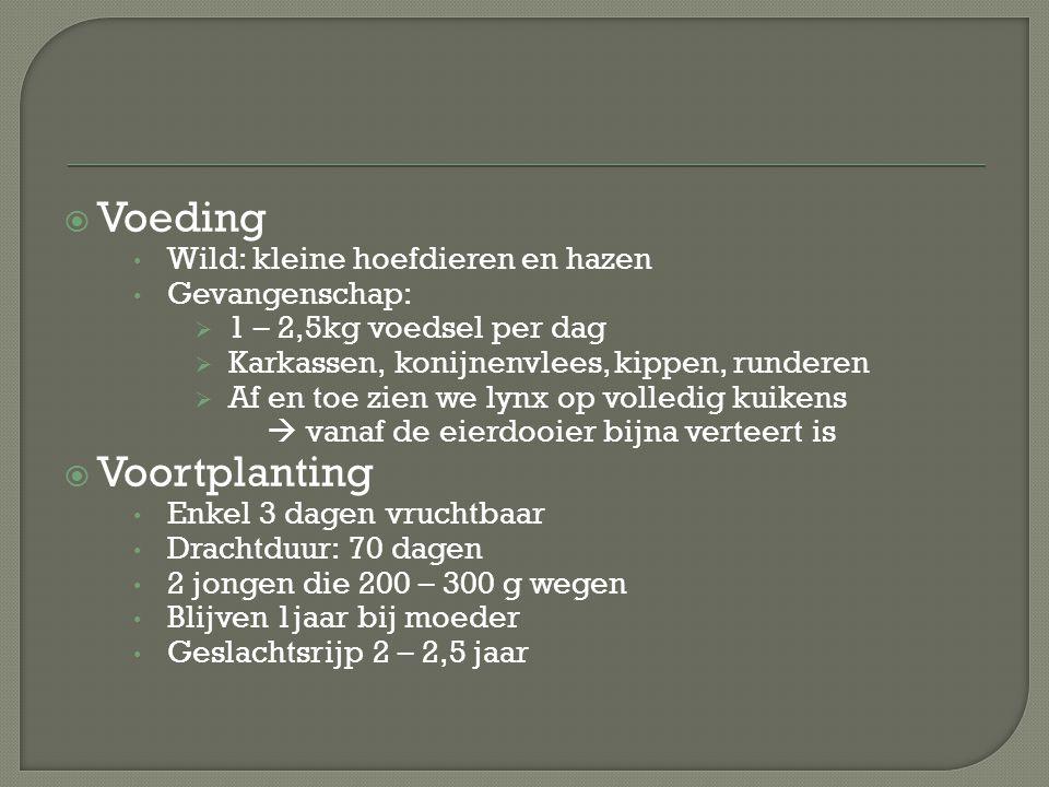  Voeding Wild: kleine hoefdieren en hazen Gevangenschap:  1 – 2,5kg voedsel per dag  Karkassen, konijnenvlees, kippen, runderen  Af en toe zien we