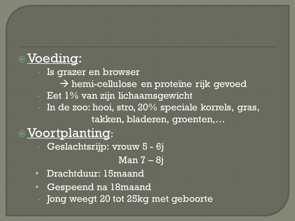  Voeding: Is grazer en browser  hemi-cellulose en proteïne rijk gevoed Eet 1% van zijn lichaamsgewicht In de zoo: hooi, stro, 20% speciale korrels,