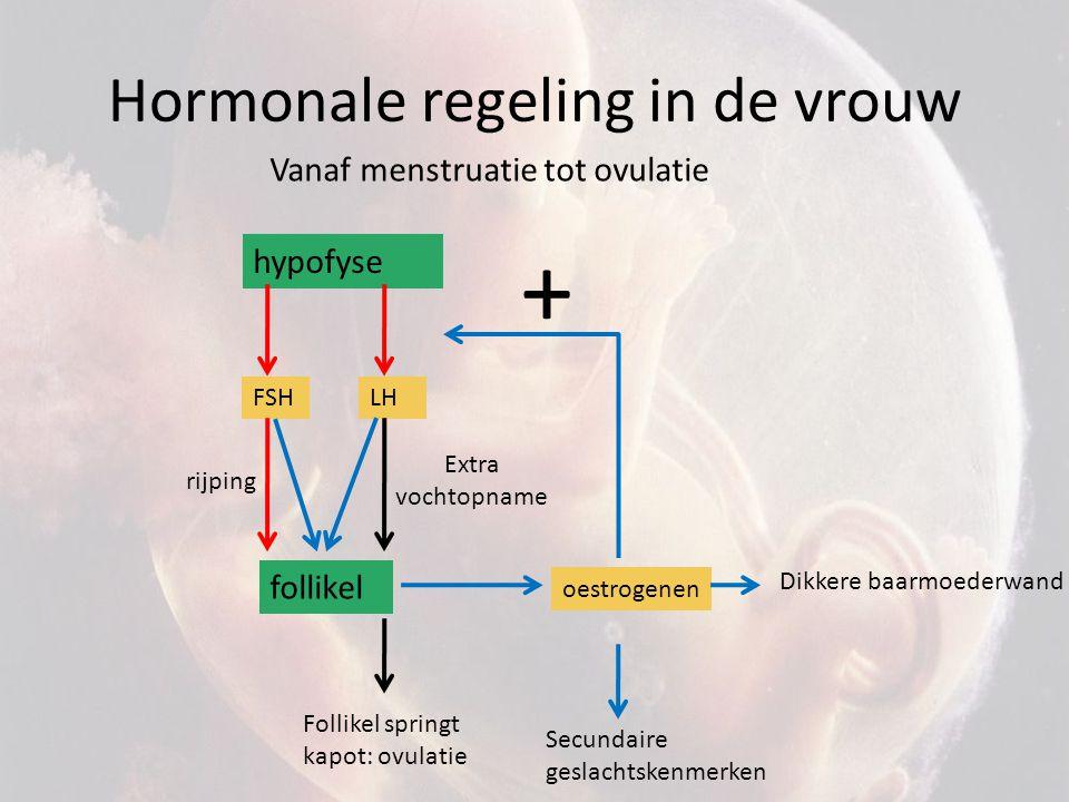 Hormonale regeling in de vrouw hypofyse FSH follikel oestrogenen Secundaire geslachtskenmerken + Extra vochtopname Vanaf menstruatie tot ovulatie LH r