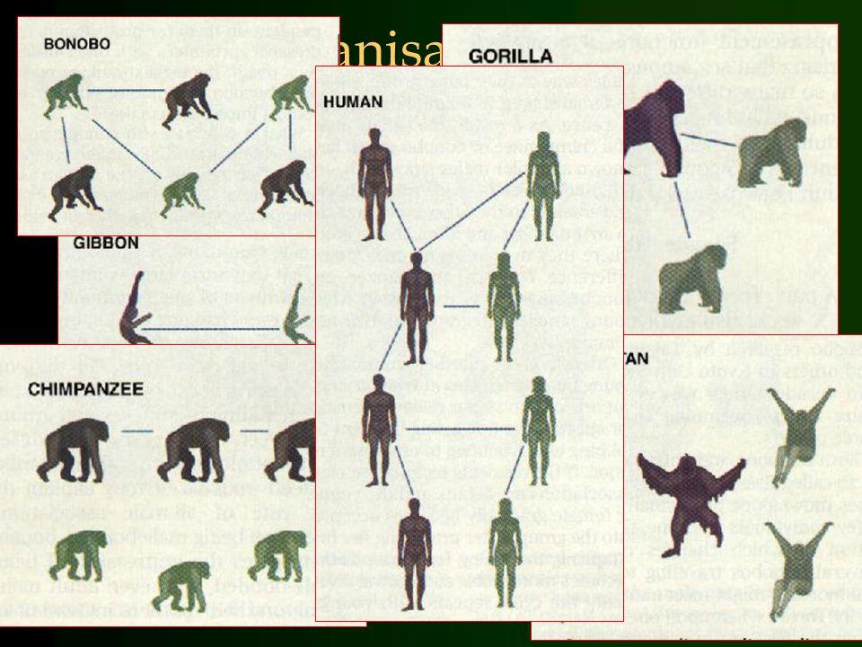 Continuïteit: agressie bij primaten Chimp.