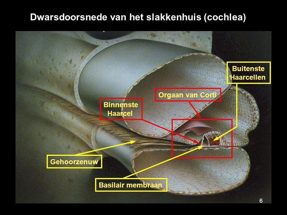 Dwarsdoorsnede van het slakkenhuis (cochlea) Gehoorzenuw Binnenste Haarcel Orgaan van Corti Buitenste Haarcellen Basilair membraan 6