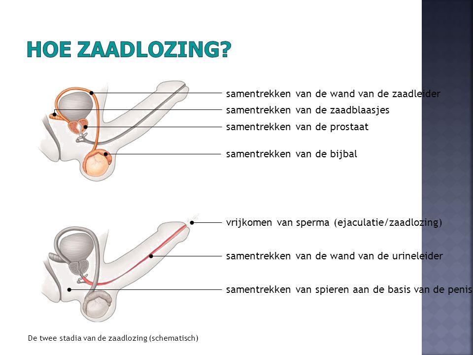 De twee stadia van de zaadlozing (schematisch) samentrekken van de bijbal samentrekken van de zaadblaasjes samentrekken van de prostaat samentrekken van de wand van de zaadleider samentrekken van spieren aan de basis van de penis samentrekken van de wand van de urineleider vrijkomen van sperma (ejaculatie/zaadlozing)