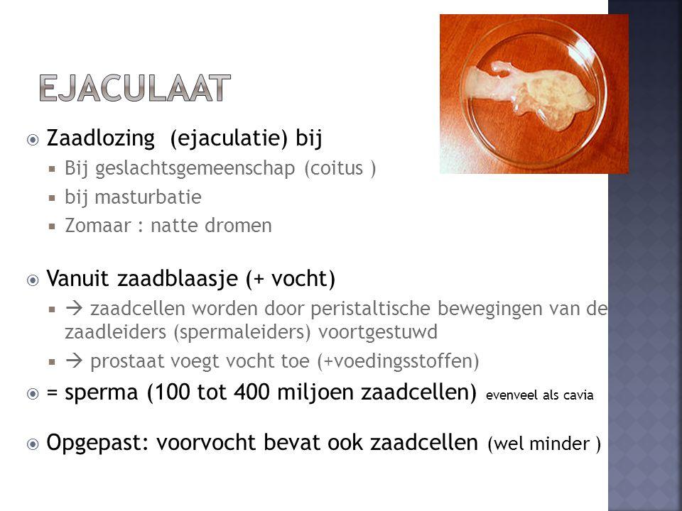  Zaadlozing (ejaculatie) bij  Bij geslachtsgemeenschap (coitus )  bij masturbatie  Zomaar : natte dromen  Vanuit zaadblaasje (+ vocht)   zaadcellen worden door peristaltische bewegingen van de zaadleiders (spermaleiders) voortgestuwd   prostaat voegt vocht toe (+voedingsstoffen)  = sperma (100 tot 400 miljoen zaadcellen) evenveel als cavia  Opgepast: voorvocht bevat ook zaadcellen (wel minder )