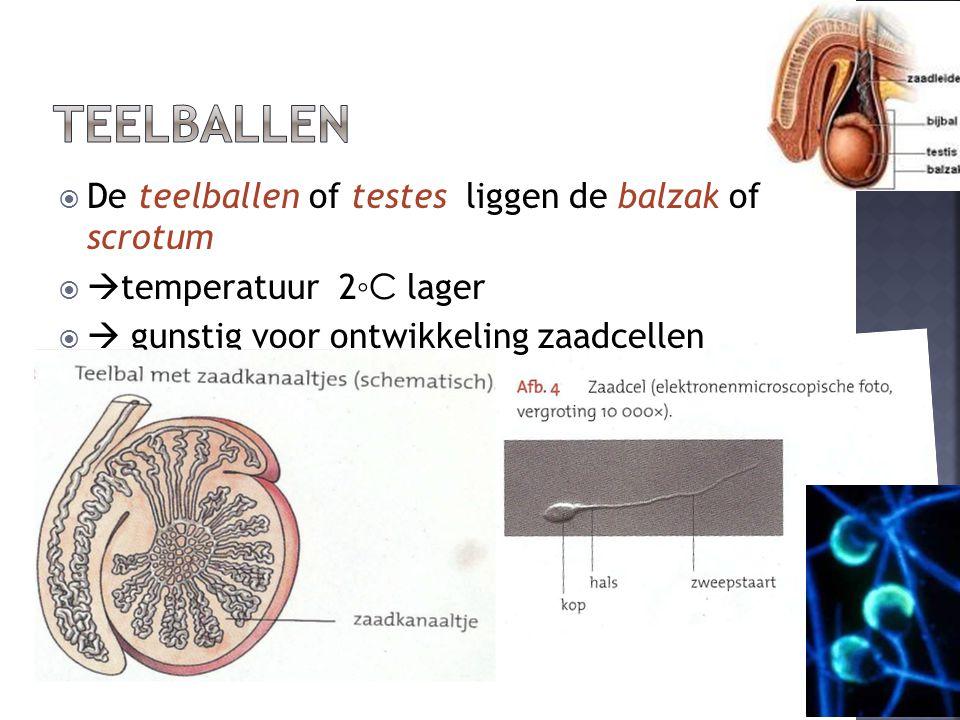  De teelballen of testes liggen de balzak of scrotum   temperatuur 2 ◦C lager   gunstig voor ontwikkeling zaadcellen