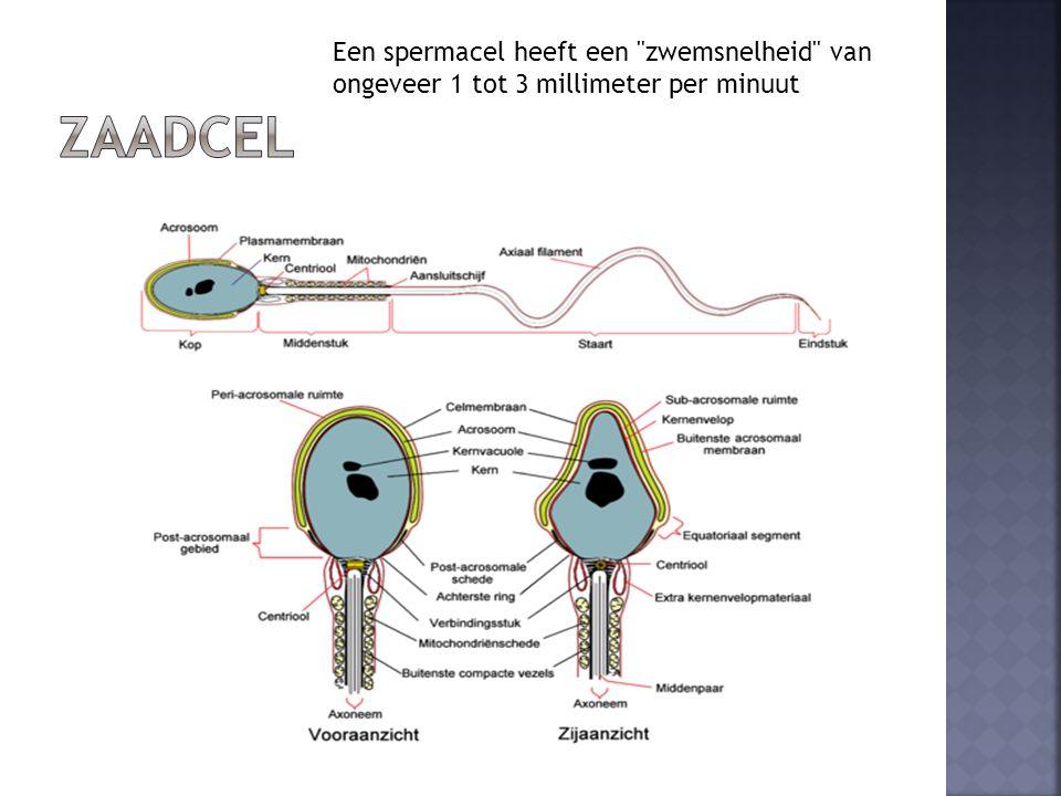  Teelballen bevatten sterk gekronkelde zaadkanaaltjes  Wandcellen delen zich voortdurend   zaadcelmoedercellen  Na deling  ontwikkeling tot zaadcellen  = spermatogenese  Zaadkanaaltjes lopen tot in de bijballen (zuur milieu)  bewegingsloos  = tijdelijke opslagplaats