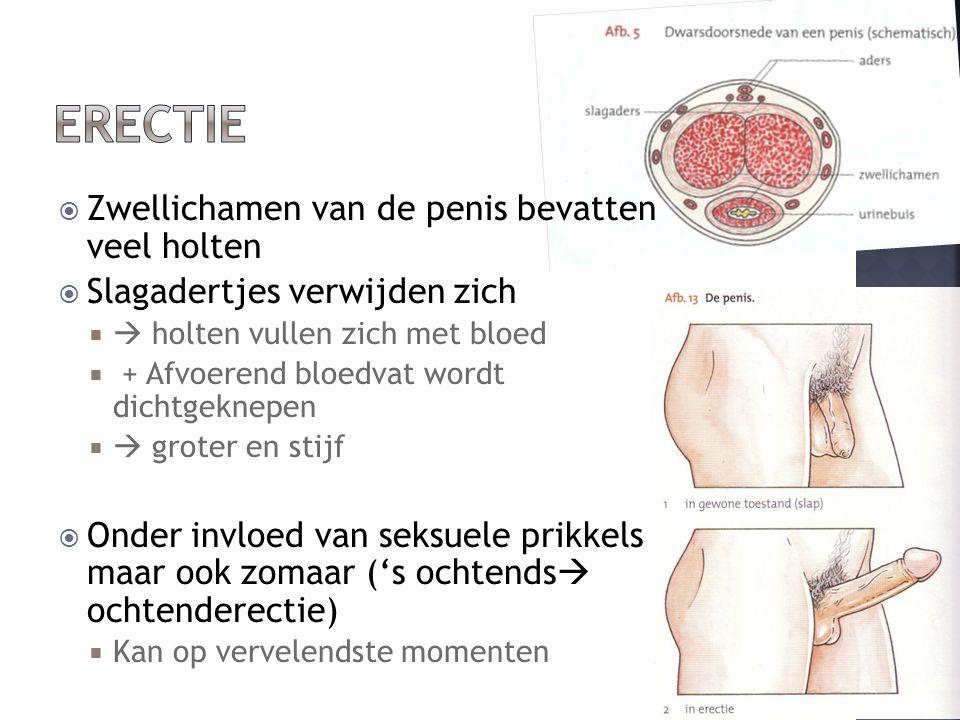  Zwellichamen van de penis bevatten veel holten  Slagadertjes verwijden zich   holten vullen zich met bloed  + Afvoerend bloedvat wordt dichtgeknepen   groter en stijf  Onder invloed van seksuele prikkels maar ook zomaar ('s ochtends  ochtenderectie)  Kan op vervelendste momenten