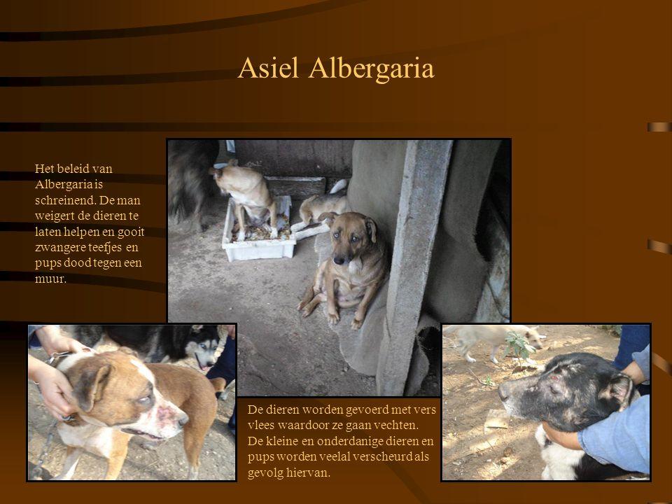 Asiel Albergaria De dieren worden gevoerd met vers vlees waardoor ze gaan vechten. De kleine en onderdanige dieren en pups worden veelal verscheurd al