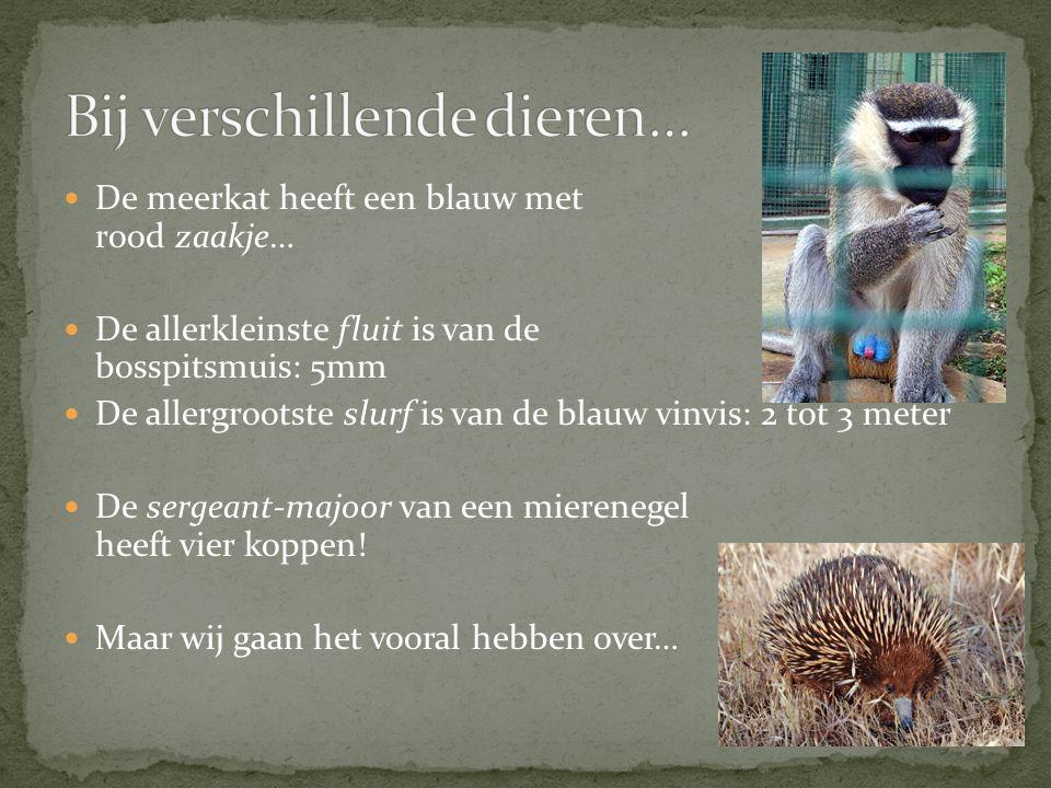 De meerkat heeft een blauw met rood zaakje… De allerkleinste fluit is van de bosspitsmuis: 5mm De allergrootste slurf is van de blauw vinvis: 2 tot 3