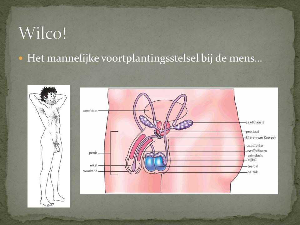 Teelballen: produceren spermacellen Bijballen: voor tijdelijke opslag van spermacellen Balzak: een huidplooi waar de ballen in liggen.